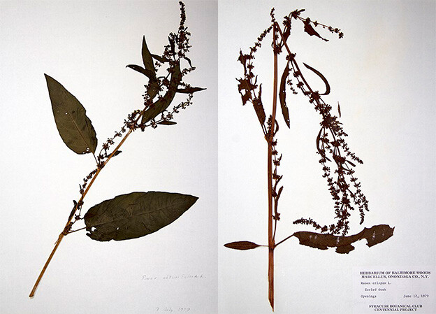 Broad-leaved (left) and curled (right) dock. Photos by R. A. Nonenmacher.