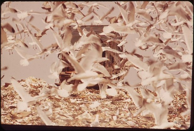 Seagulls feed on the Hackensack dump