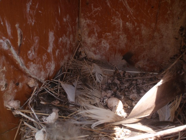 swallow's nest (with an egg that did not hatch) in nesting box