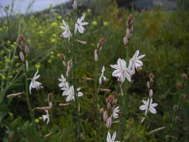 Asphodel flowers.