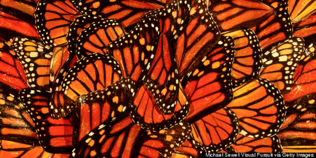 In defense of the Monarch butterfly: A letter to three