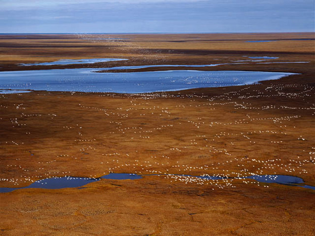 300,000 snow-geese arriving on the coastal plain of ANWR in early autumn