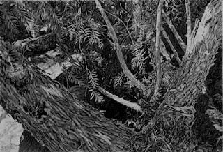 Arie Galles - PepperTree III – 18.25 x 12 – 2012 – Graphite