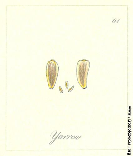 Yarrow seed